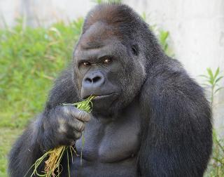 In Giappone il gorilla rubacuori Shabani