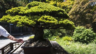 Il bonsai miracolato: Hiroshima Survivor