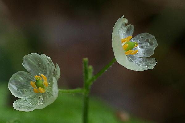 """Il fiore giapponese che diventa """"trasparente"""""""