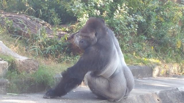 Shabani, il sexy gorilla che ha conquistato il web