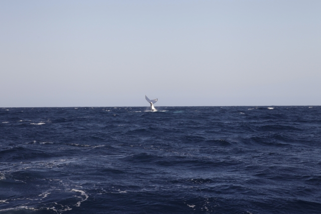 Riprende in Giappone la caccia alle balene