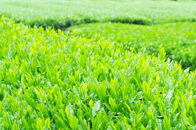 Il tè verde di Nishifuku Seicha: produzione e divulgazione della cultura del te` – Fukuoka PMI