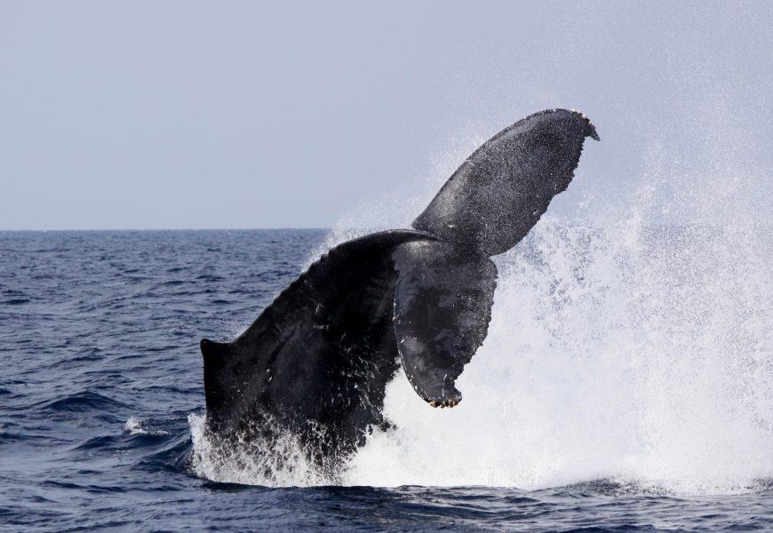 Giappone continua ad uccidere le balene