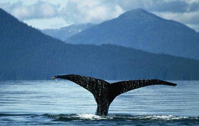 Scoperta nuova specie di balena in Giappone
