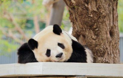 Un nuovo piccolo di panda per Ueno zoo di Tokyo