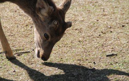 Attenzione ai cervi di Nara