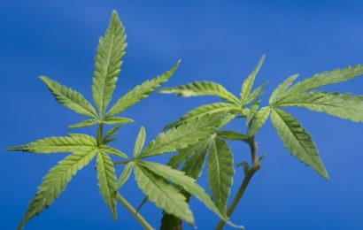 Giappone: nuova licenza per coltivazione di cannabis