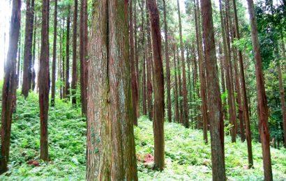 Dal Giappone in arrivo un drink ricavato dagli alberi